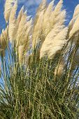 pic of pampas grass  - Pampas grass blowing in the wind in rural Oregon - JPG