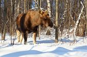 big female of elk in woods at winter at Elk Island in Moscow, 9 km from Kremlin