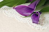 Elegant purple calla lilies on decorative lacy paper over parchment paper with copy space.  Macro wi