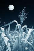 Field Of Corn In The Moonlight, Infrared