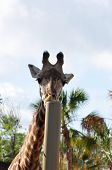 Giraffe And A Pole