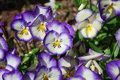 Pansey Purple White
