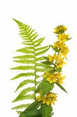 Loosestrife And Fern