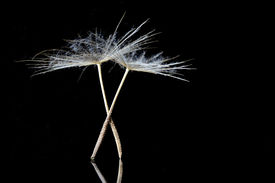 picture of tchaikovsky  - Dandelion Seeds resembling ballet dancers on the stage - JPG