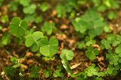 stock photo of four leaf clover  - A jungle of 4 (four) leaf clovers! Lucky day!