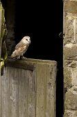 Farmyard Barn Owl