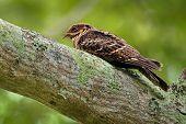 Large-tailed Nightjar - Caprimulgus Macrurus Nightjar In The Family Caprimulgidae, Found Along The S poster