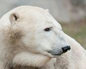 Polar bear profile