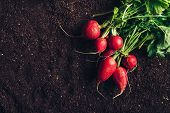 Top View Of Harvested Garden Radishes On Soil, Organic Homegrown Produce With Compost Humus Ground A poster