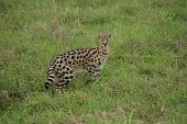 Eye-catching serval