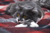 A Calm Cat Is Lying On A Blanket. Norwegian Forest Species poster