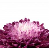 Purple Chrysanthemum Flower With White Center Isolated