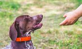 A Man Extends His Hand To A Dog Breeds German Shorthaired Pointer poster