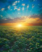 Soybean Field, Green Field, Agriculture Landscape, Field Of Soybean On A Sunset Sky Background poster