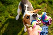 Dog Beagle Pulls Toy And Tug-of-war Game. Dog Themed Background poster