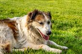 Profile Of White And Brown Colored Stray Dog Lying On The Grass In A Park. poster