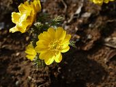 pic of adonis  - the small yellow flowers of amur adonis - JPG