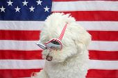 White Dog with American Flag. White Dog wears american flag glasses. 4th of July celebration with a  poster