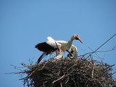 Cegonha-branca no ninho