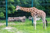 Rothschilds Giraffe Or Giraffa Camelopardalis Rothschildi Walks In Captivity poster
