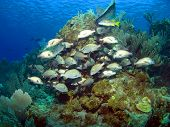 Cayman Brac Reef Scene With School Of French Grunts