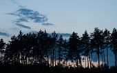 Silhouettes Of Pines Against The Background Of A Blue Evening Sky With Clouds. Evening In The Pine F poster