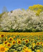 sunflower field with spring tree