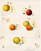 Grafiken mit alten Apfelsorten