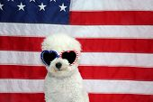 Bichon Frise with American Flag and American Flag Sun Glasses. A Bichon Frise Dog poses with an Amer poster