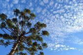Bottom View Of Beautiful Araucaria (parana Pine Tree) And Blue Sky (curitiba, Parana, Brazil) (south poster