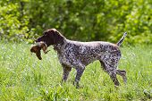 Hunting Dog German Shorthaired Pointer Carrying A Downed Woodcock To The Hunter poster