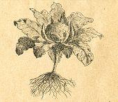 Cauliflower - old illustration by unknown artist from Botanika Szkolna na Klasy Nizsze, author Jozef Rostafinski, published by W.L. Anczyc, Krakow and Warsaw, 1911