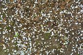 Fallen Apple Tree Flowers Petals In Garden. White Petals On The Ground. Brown Texture Of Earth With  poster