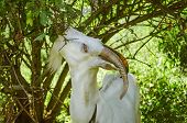 Young Goat Eating Grass In The Yard. White Goat Outdoor On Yard. Goats Eat Tree Leaves In A Pasture poster