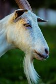 Close-up Female Goat. White Goat In A Field. Close Up Of An Inquisitive Goat. Close-up Of A White Go poster