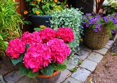 Flower Pink Hydrangea In A Pot Stands On The Cobblestones, Next To And Against The Background Of Oth poster