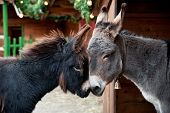 Two Donkeys Snuggling