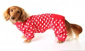 Dachshund puppy wearing a valentines outfit.