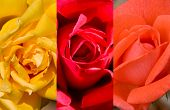 3 Colors Roses