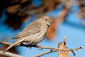 Female House Finch perched in an Oak tree in winter