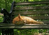 stock photo of domestic cat  - orange house cat sleeping in the sun on a garden bench - JPG