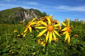 Mountain And Yellow Flower