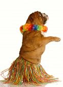 pic of hula dancer  - english bulldog dressed as a hula dancer isolated on white background - JPG