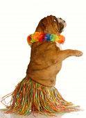 stock photo of hula dancer  - english bulldog dressed as a hula dancer isolated on white background - JPG