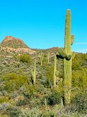 pic of snowbird  - Cacti on a desert mountain in Arizona - JPG