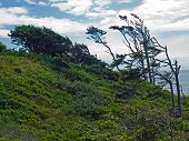 stock photo of windswept  - Windswept Trees on a Hillside on a Clear Sunny Day - JPG