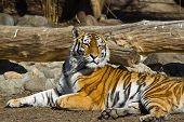 Tigresa de Amur