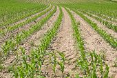 stock photo of zea  - Young corn field with growing leaves in Bavaria - JPG