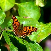 The Comma (Polygonia C-album), Sweden