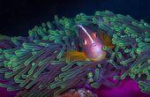 Nosestripe Clownfish